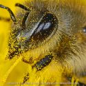 Get the Buzz on Bee Pollen